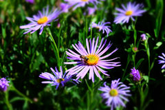 Aster amellus Royalty Free Stock Photos