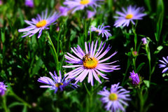 Aster amellus Stock Image