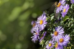 Aster amellus, the European Michaelmas-daisy, is a perennial herbaceous plant of the genus Aster. In the language of flowers, symbolizes a farewell or a stock image