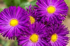 Aster amellus, the European Michaelmas-daisy. A perennial herbaceous plants in close-up view stock image