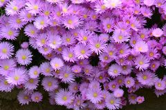 Aster amellus, the European Michaelmas-daisy. Purple daisies with a yellow centre, Aster amellus, the European Michaelmas-daisy royalty free stock photos