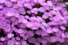 Aster amellus, the European Michaelmas-daisy. Purple daisies with a yellow centre, Aster amellus, the European Michaelmas-daisy royalty free stock photography