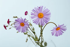 Aster amellus flower bouquet closeup Royalty Free Stock Photography