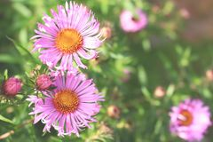 Aster amellus flowers on blurred background. Blossom aster amellus flowers on blurred background royalty free stock images