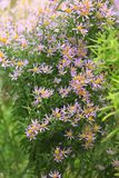 Aster amellus flowers in the garden. Violet aster amellus flowers in the garden royalty free stock images