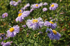 Aster amellus flowers. The flowers are lilac. The flowering period extends from July through October royalty free stock photo