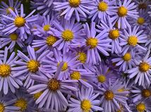 Aster Amellus Flowers. Purple Violet Yellow flowers in the garden royalty free stock photo
