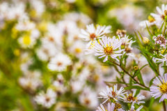 Aster amellus. In garden of summer stock images