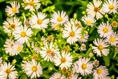 Aster amellus Stock Images