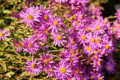 Aster amellus. Purple aster blooming in flower bed royalty free stock photos