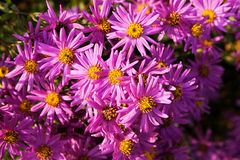 Aster amellus. Purple aster blooming in flower bed royalty free stock images