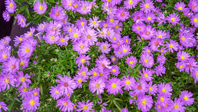 Aster Amellus Purple Flower Royalty Free Stock Photos