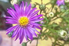 Aster amellus. Reaches on average a height of 20–50 centimetres 7.9–19.7 in. The stem is erect and branched, the leaves are dark green. The basal leaves are Royalty Free Stock Photos