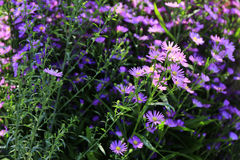 Aster amellus. In the sunlight royalty free stock photography
