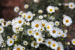 Aster Royalty Free Stock Images