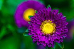 Aster Autumn Flowers close up. Royalty Free Stock Image