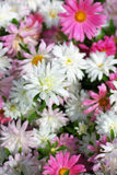 Aster Autumn Flowers Stock Photo