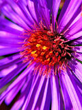 Aster Royalty Free Stock Photography