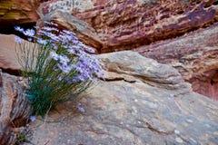 Aster azul contra la piedra arenisca roja en barranco Imagen de archivo