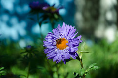 Aster azul en el jardín Imagen de archivo libre de regalías
