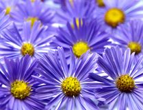 Aster background Royalty Free Stock Images
