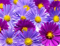 Aster background Royalty Free Stock Photography