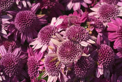 Aster background Stock Images