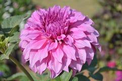 aster beautiful bright flower Στοκ εικόνα με δικαίωμα ελεύθερης χρήσης