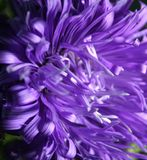 Aster. A beautiful aster with dark background Stock Images