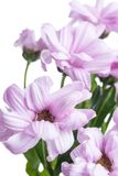 Aster. Beautiful flower on light background Royalty Free Stock Photo