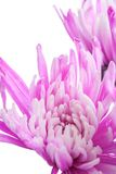 Aster. Beautiful flower on light background Royalty Free Stock Image