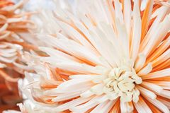 aster Belle fleur sur le fond clair Photo stock