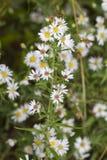 Aster blanco melenudo de Oldfield - pilosum de Symphyotrichum foto de archivo libre de regalías