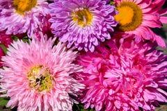Aster blommar bakgrund royaltyfri bild