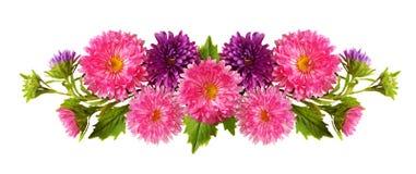 Aster blommar i linjen ordning arkivbild