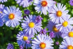 Aster blommar med regndroppar Arkivfoton