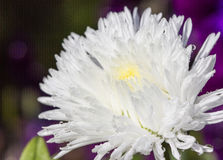 Aster Blossom Royalty Free Stock Images