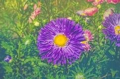 Aster blu del fiore Fondo con l'aster del blu di autunno Fotografia Stock Libera da Diritti