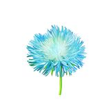 Aster. Blue flower, Spring flower. Isolated Royalty Free Stock Image