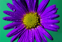 Aster Stock Photography
