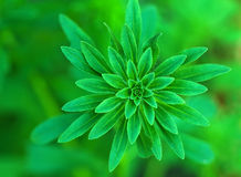 Aster bud green background Stock Image