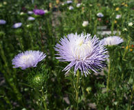 Aster callistephus needle young white-violet flowers and bud Stock Image