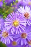 Aster close up Stock Images