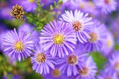 Aster close up  Royalty Free Stock Images