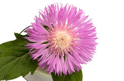 Aster close up over white Stock Image