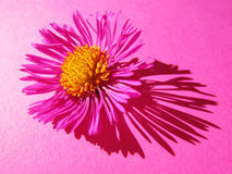 Aster, close-up,  on pink (2). Aster, close-up,  on pink with long graphic shadow Royalty Free Stock Photo