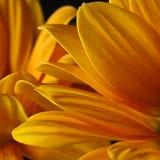 Aster. Closeup macro of yellow aster Stock Photos