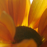 Aster. Closeup macro of yellow aster Stock Photo