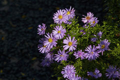 Aster. A clump of Aster Novi-belgii in a garden after a shower of rain Royalty Free Stock Photos