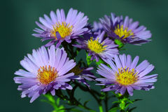The Aster (Compositae of Asteraceae) Royalty Free Stock Images